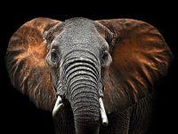 Glasschilderij olifant met rode oren van Ter Halle